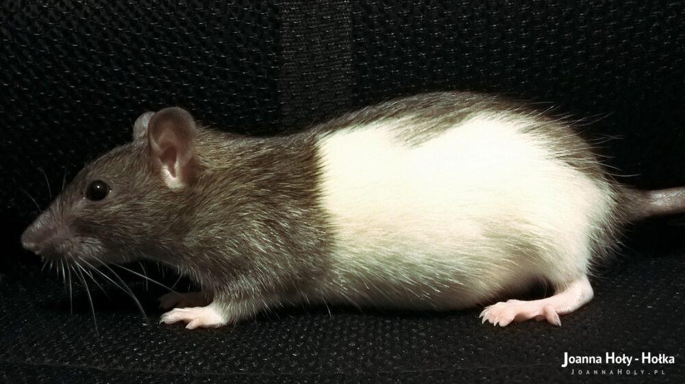 Mysza – ciąża