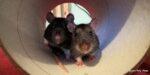 Trzpiotka i Mysza